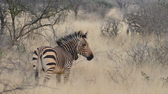 ein Bergzebra (marionkaminski) Tags: namibia afrika africa animal animale zebra panasonic lumixfz1000 dieren animali