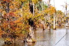PA150048--Bayou Desiard (C'Ann Underwood) Tags: treesbaldcypressswampbayoubayoudesiard louisiana bayou bayoudesiard
