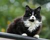 Lucy (hehaden) Tags: cat kitty semilonghaired blackandwhite tuxedo roof trees garden