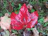 Liść (maciey24) Tags: liść leaf foliage jesień autumn fall grass trawa trawnik czerwień czerwony october liście leaves weather red season maple acer klon klonu wet water mokry woda
