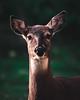 Beauty in the woods (Nippe16) Tags: deer animal mammal wildlife outdoor nature finland peura valkohäntäpeura suomi porkkala moody atmosphere