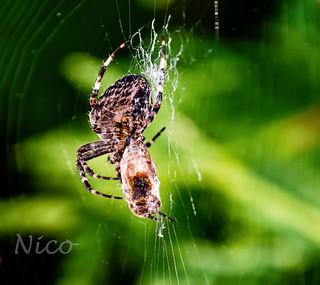 Same spider, different angle DSC_0412 Araignée au travail,  arachnide, arthropode