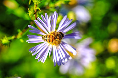 natures colours (Paul Wrights Reserved) Tags: bee flower botanical bokeh nature colourful colours colour openflower fromabove pollen pollenation