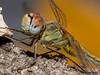 Libélula - Fêmea (Sympetrum fonscolombii) (Fernando Delgado) Tags: sympetrumfonscolombii female fêmea libélula faro insect insecta inseto insecto dragonfly arthropoda algarve portugal odonata