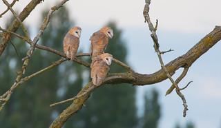 Barn owlets (Tyto alba)