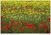 Poppies in an Oilseed Rape Field (© Mark Sunderland www.marksunderland.com) Tags: agriculture arable britain britishisles countryside crop england europe farming farmland field flowers gb greatbritain northstainley northyorkshire oilseedrape plants poppies rape rapeseed ripon summer travel uk unitedkingdom wildflowers yorkshire northernengland