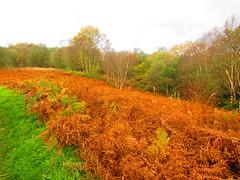 Autumn colour (d.kiff95) Tags: autumncolour ferns orange
