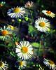•Delicate Daisies🌼🌸 (sergiochubby) Tags: inexplore onlymobileart onlymobile iphoneonly nostalgia hipsta ukraine mobileart hipstamagic phoneographic mobiography hipstsmatic hipstamaticmagic hipstadreamers kharkiv visualukraine iphoneography vintage beauty elements artistic depthoffield vivid vibrant macroflower yellow petals nature fieldflowers garden hipstamatic glow blur bokeh autumn flowers pastel wildflower fieldflower floral warm serene deep bnwmood gentle subtle colorsofautumn plant grass outdoor field macro landscape bloom blossom herb cute soil sunflower bright petal flower