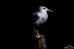 A portrait of Seagull (Nicola Franzoso Naio) Tags: canon7dmarkii canonef300mmf28isii animali animal parcodelfiumesile canon wild extender2x nature natura northitaly italy river portrait ritratto light studiolight black