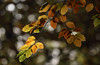 Autumnal Colouring (AnyMotion) Tags: beech buche leaf leaves blatt blätter autumncolours herbstfärbung tree baum bokeh nature natur cemetery 2017 anymotion frankfurt maincemetery hauptfriedhof hessen germany 7d2 canoneos7dmarkii colours colors farben yellow gelb green grün brown braun autumn fall herbst automne otoño ngc npc