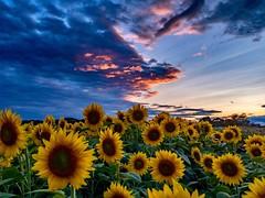 Sunflowers at Sunset ((Jessica)) Tags: colbyfarm iphoneraw iphone6s iphone sunset shotoniphone lightroommobile massachusetts sunflowers flowers petals newburyport sunflowerfield newengland
