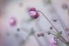 Monet's walk. Into the foggy anemone garden. (Gudzwi) Tags: anemone anemonehupehensis garden garten pastell pastel soft pink green grün blume flower flora 7dwf bokeh macro blur unschärfe herbstanemonen natur nature pflanze plant makro 7dwffridaysflora chineseanemone