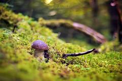"""* Name me """"The King"""" * (-ABLOK-) Tags: champignon champignons mushroom bois arbre mousse forêt forest france auvergne cueillette cèpe bolet ablok macro nature 50mm fungi"""