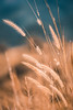 Yellow flower grass with blurry meadow (jack-sooksan) Tags: flower flora floral soft curve nature tree leaf hair bend curl grass yellow orange blue forest meadow wild bloom blossom blurry wind heather long fur feather