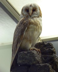 Schleiereule (Tyto alba) P1120393 (martinfritzlar) Tags: senckenberg senckenbergnaturmuseum museum frankfurt tier vogel eule schleiereule tytonidae tyto tytoalba bird owl barnowl
