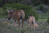 Purple Bushveld (Coisroux) Tags: zebra wildlife wildlifeportrait wildflowers fields bushveld kwandwe equus stripes safari depthoffield nikond d5500