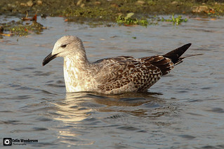 Young Lesser Black-backed Gull