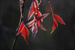 Moment (RdeUppsala) Tags: leaves hojas blad frost escarcha naturaleza nature natur plant planta växt uppland uppsala sweden suecia sverige sunrise soluppgång amanecer autumn outdoor otoño höst trädgård garden jardín