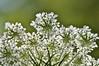 Queen Lace (ladybugdiscovery) Tags: queenanneslace wildflower wildcarrot white underside flower meadow macro dof