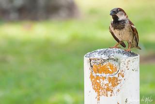 pardal (Passer domesticus) - House Sparrow