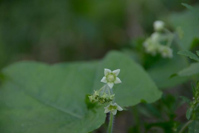 eggplant-flower