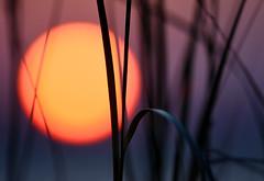 In memoriam. (Jill Bazeley) Tags: sunset sawgrass cord grass sedge nikon d7200 300mm bokeh