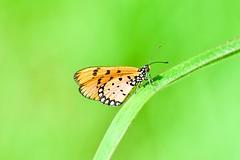 Tawny Coster (sreejithkallethu) Tags: tawnycoster butterflies butterfliesofkerala nature naturephotography polachira kollam kerala