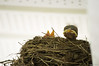 dazed. (NickPensaPhotography) Tags: bird birds nature nest babybirds birdsnest frontporch frontporchbirds wildlife instagramapp squareformat art nikon travel square photography
