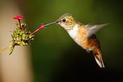 Another Allen's with Pentas (Life of David) Tags: california camarillo canon5dmarkiv selasphorussasin usa wildlife allenshummingbird backyard beautiful beauty bird hummingbird nature world100f