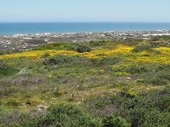 P9160039 West Coast National Park Flowers (Joanna P Dale) Tags: westcoastnationalpark flowers southafrica omdem1 mk1 olympus 35mmzuiko 35mmmacro
