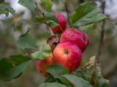 Apples from Shropshire - ready to be picked for cider (Unni Henning (also Instagram @unnikarin59)) Tags: apples orchard autumn cider picking trees fruit plant outdoor nature produce shropshire england macro closeup narrowdepthfield october
