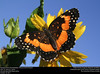 Bordered Patch (Nymphalidae, Chlosyne lacinia (Geyer)) (insectsunlocked) Tags: lepidoptera nymphalidae nymphalinae melitaeini chlosyne chlosynelacinia borderedpatch brushfoot butterfly insectsunlocked santillanaale
