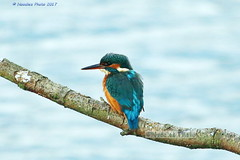 Eisvogel - Common Kingfisher (Noodles Photo) Tags: commonkingfisher alcedoatthis eisvogel rspboldmoordearnevalley rspb rspboldmoor dearnevalley oldmoordearnevalley oldmoor barnsley canoneos7dmarkii ef100400mmf4556lisusm bird alcedininae aves greatbritain uk kingfisher