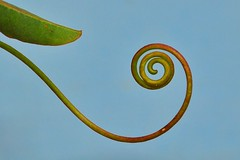 hyperbolic (holly hop) Tags: macromonday spiral passionfruit vine green garden macro tendril hyperbolic curly nature outdoors minimalism transcendentalplanecurve reciprocalspiral