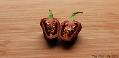 Apocalypse Scorpion Chocolate Cut in Halves (TheChili.Life) Tags: chili chilli pepper peppers pods capsicum indoor garden grow chile