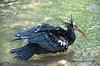 Waldrapp - Bald Ibis (Wildfaces_No.1) Tags: vogel bird selten schwarz black wald wood ugly häslich