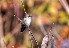 Content in the Sun (robinlamb1) Tags: outdoor nature animal bird hummingbird annashummingbird calypteanna backyard perch aldergrove