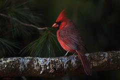 Northern Cardinal (E_Rick1502) Tags: