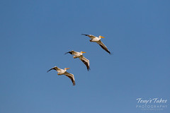 Formation flying Pelicans