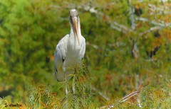 Wood Stork (Suzanham) Tags: woodstork cypressswamp tree perching beak wadingbird nature wildlife mississippi