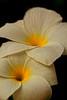 Glow (Rajavelu1) Tags: flowers glow white colours macrophotography canonef100mmf28lisusmmacro canon60d art creative india