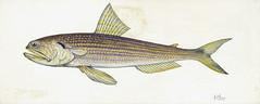 Anglų lietuvių žodynas. Žodis lizardfish reiškia lizdarvis lietuviškai.