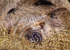 Sleeping Pig (rustyruth1959) Tags: nikon nikond5600 tamron16300mm uk england yorkshire eastridingofyorkshire sewerby bridlington sewerbyhall sewerbyhallzoo zoo kunekune pig domesticanimal sleeping sleepingpig hairy animal hairypig snout head hairs nose rotund ear straw eye newzealand placid teeth gettyimages