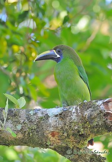 Emerald toucanet - Toucanet émeraude - Tucancillo esmeralda - Aulacorhynchus prasinus