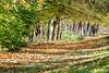 Interpretations on a theme 4 (alanrharris53) Tags: trees autumn leaf leaves interpretation variation shepshed 2017 hindleysschool