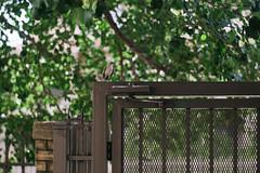 Mockingbird (BurlapZack) Tags: pentaxk1 vivitar85mmf18 tmount tamronadaptallmount vscofilm pack01 dallastx medicaldistrict mockingbird bird bokeh dof legacyglass manualfocus thriftstorelens garagesalelens fence walkabout summer summertime birdie birb green leaves statebird gate gateway apartmentcomplex critter wildlife fauna