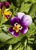 une petite pensée (Val in Sydney) Tags: cumberland hospital park parramatta australie australia nsw flower festival wisteria