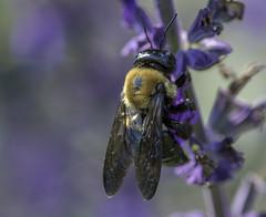 Bee_SAF3239-1 (sara97) Tags: bee copyright©2017saraannefinke endangered flyinginsect insect missouri nature photobysaraannefinke pollinator saintlouis towergrovepark