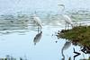 2017 10 04 - Ellis Park-260.jpg (mh803) Tags: cedarrapids unitedstatesofamerica wildlife nature bird ellispark iowa animal egrets greategret greategrets largeegret ornithology wild