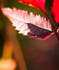 red (crystyradulescu) Tags: morning close up leaf red nature explore passion bokeh dof sigma105mm nikon 3200